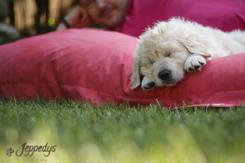 Golden Retriever Welpe schläft