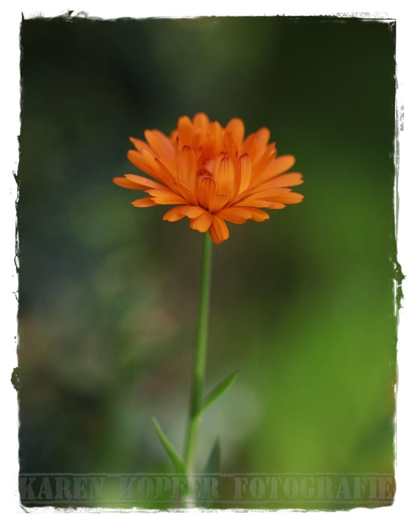 Blumenfotografie orange