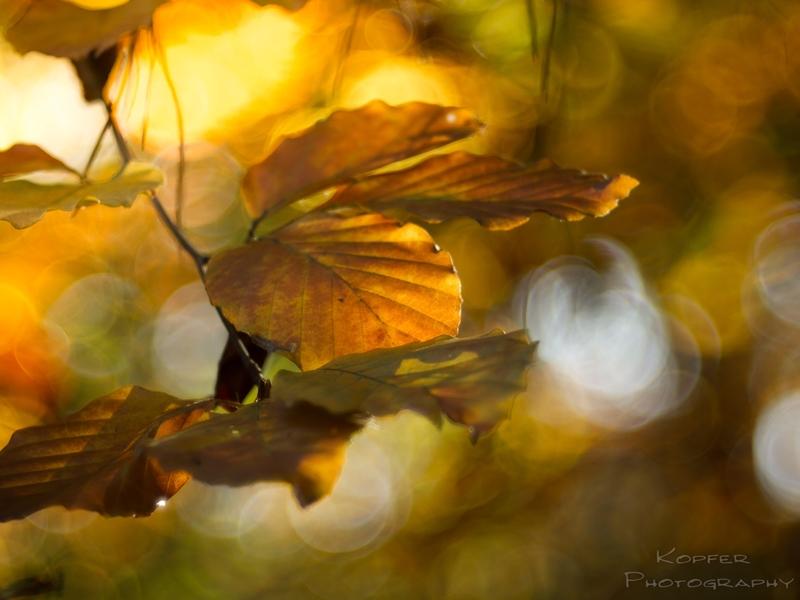 Herbstlaub_Buchenlaub_orange_braun