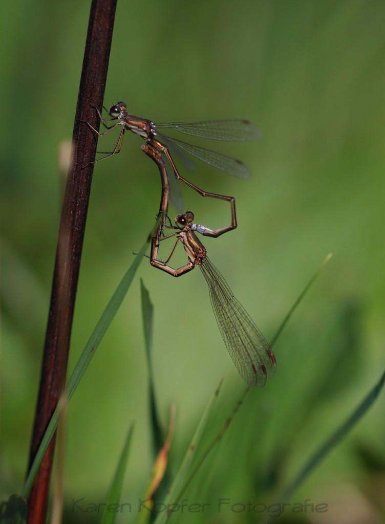 Tierfoto Libellen