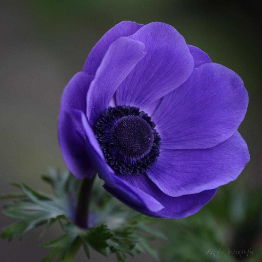 Anemone schönheit in blau
