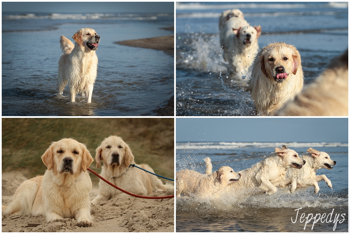 Golden Retriever in Dänemark am Strand