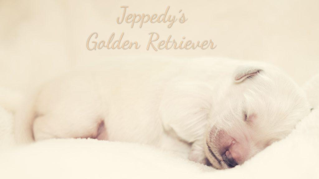 Newborn Golden Retriever