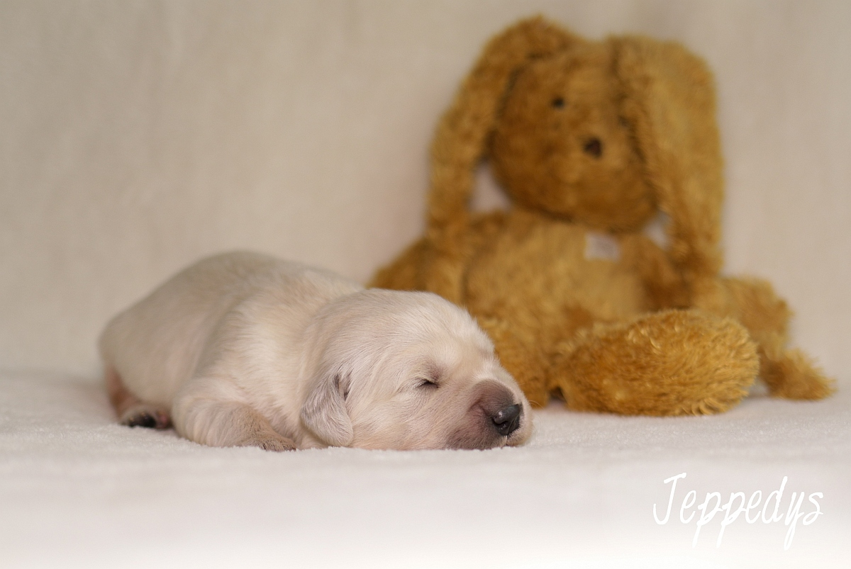 Golden Retriever Welpe mit Teddy