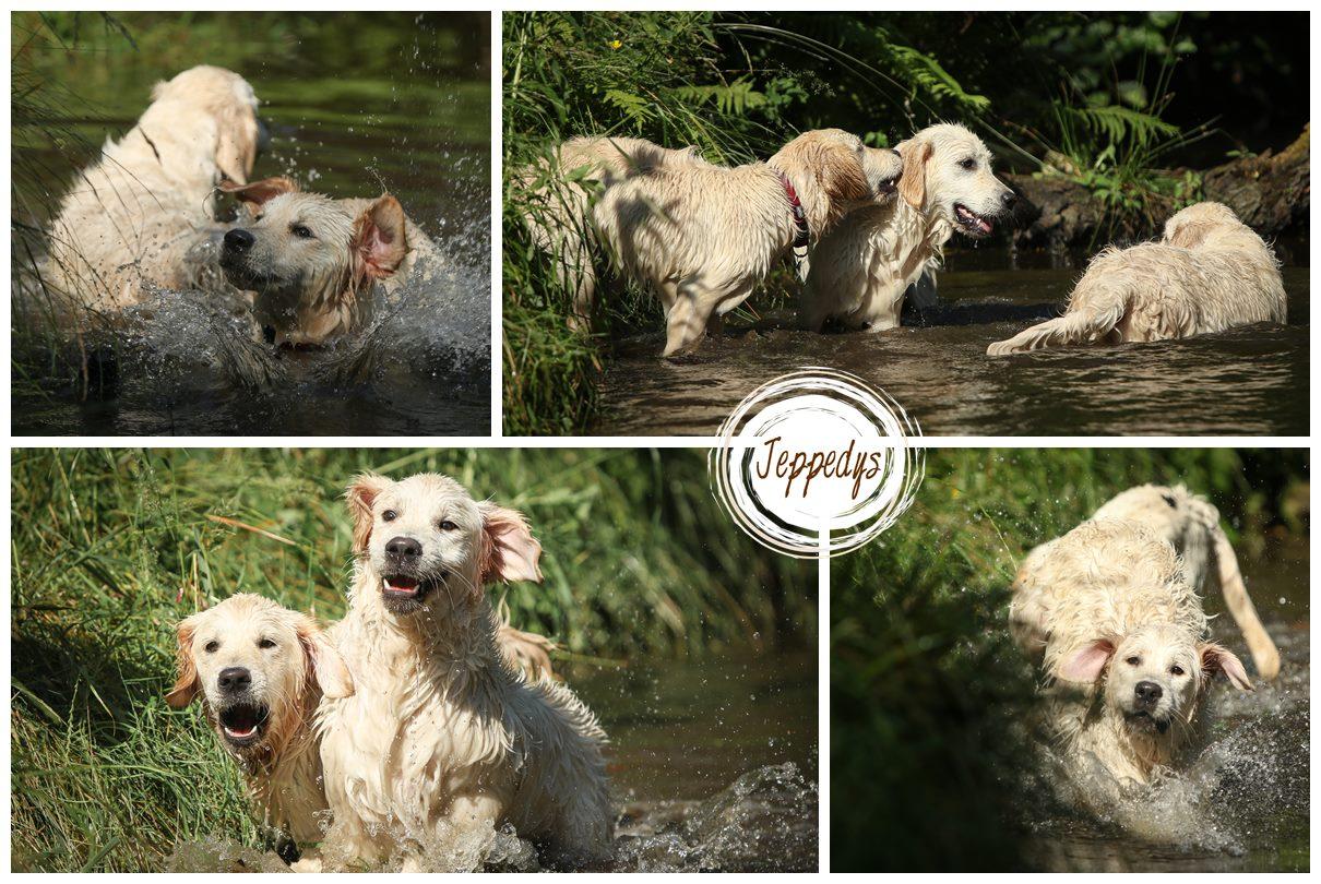 Golden Retriever Junghunde im Wasser