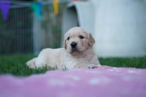 Golden Retriever Welpe liegend