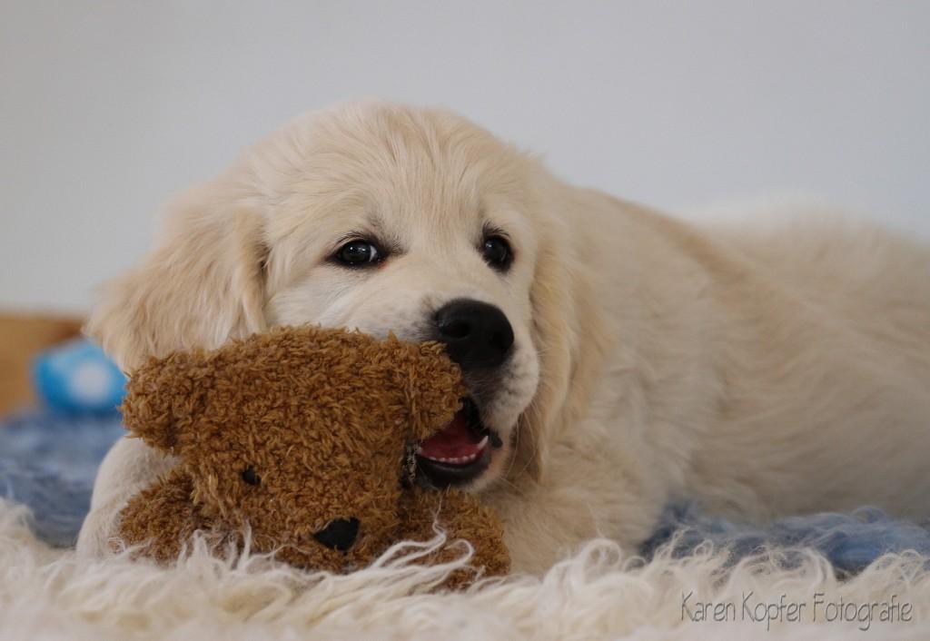 welpe-mit-teddy